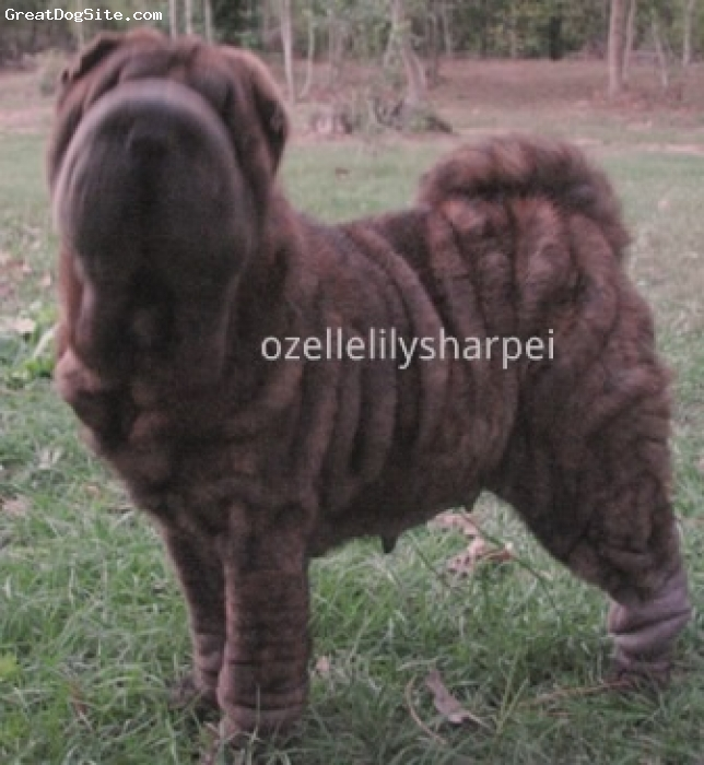 Shar Pei, 3 years old, Brindle, OzelleLily SharPei