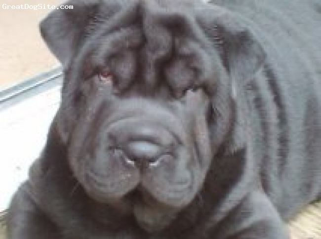 Shar Pei, 4 1/2 months, Black, My puppy