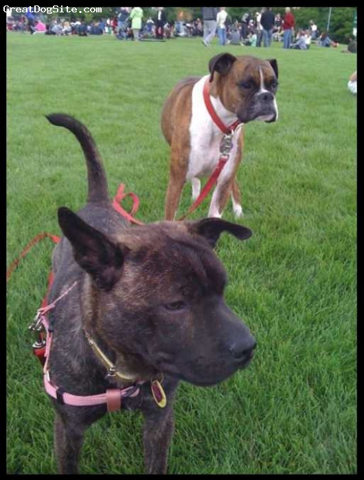 Sharbo, 2, brindle, Here is Ella and her sister (the boxer). This is her as as an adult.