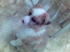 Shel-Aussie, 1, Brown/White