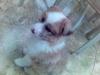 Shel-Aussie, 3 months, Brown/White