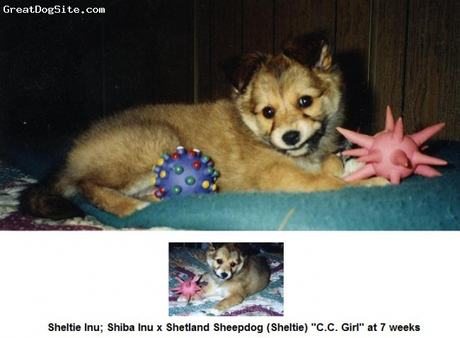 "Sheltie Inu, Various, Red and Cream, Shiba Inu x Shetland Sheepdog ""Sheltie"" at 7 weeks"