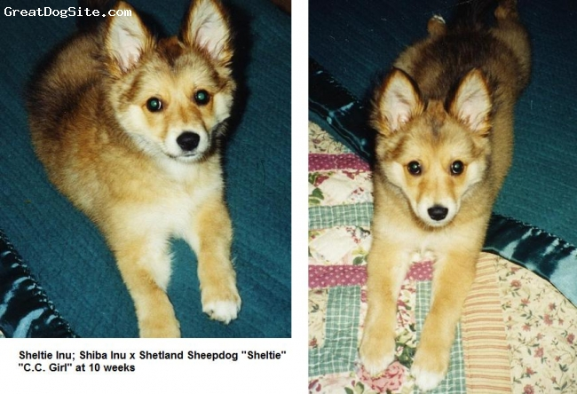 "Sheltie Inu, Various, Red and Cream, Shiba Inu x Shetland Sheepdog ""Sheltie"" at 10 weeks"