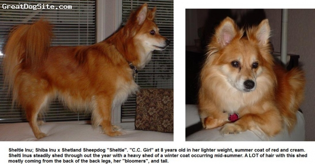 "Sheltie Inu, Various, Red and Cream, Shiba Inu x Shetland Sheepdog ""Sheltie"" at 8 years"