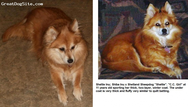 "Sheltie Inu, Various, Red and Cream, Shiba Inu x Shetland Sheepdog ""Sheltie"" at 11 years"