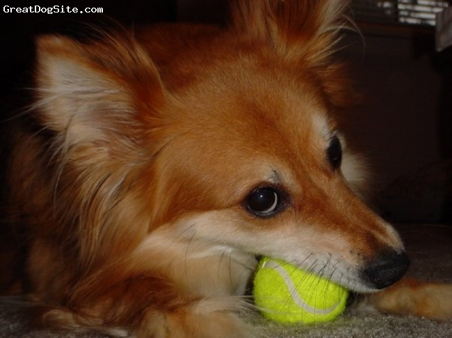 "Sheltie Inu, Various, Red and Cream, Shiba Inu x Shetland Sheepdog ""Sheltie""