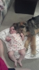 Shepadoodle, 4 1/2 months, Sable