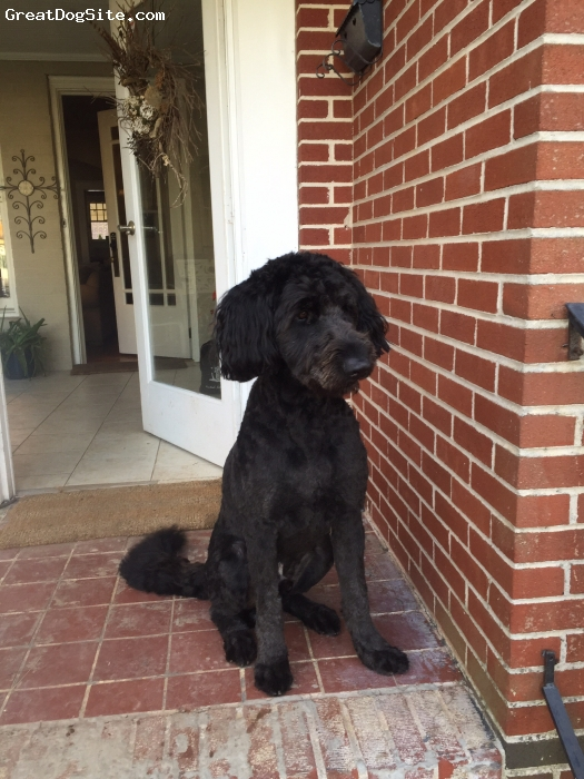 Shepadoodle, 2, Black, Two year old male shepadoodle