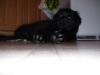 Sheprador, 3 months, black