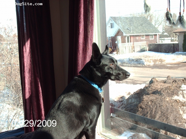 """Sheprador, 2, (jan 13 2007), black, spayed,microchipped ,,,the whole nine yards. very well taken care of. """" she's our babygirl """"!!!"""