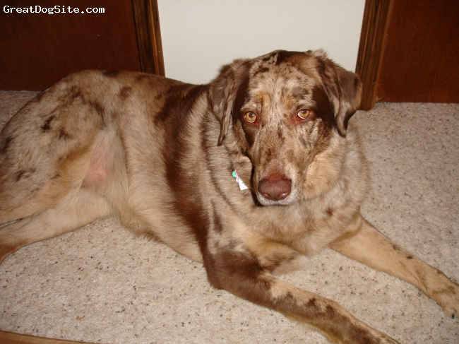 Sheprador, 3 years old, brown merle, Very loving, very loyal, loves to swim and fetch, loves skiing and hiking