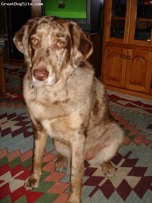 Sheprador, 3 years old, merle, loves to play, very protective, loves to hike and ski