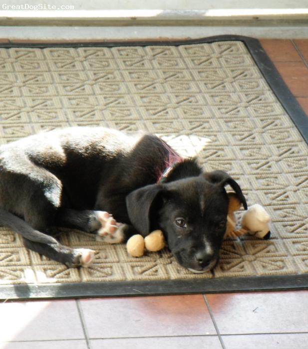 Sheprador, 9 weeks, black, Australian Shepherd/Lab