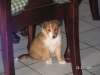 Shetland Sheepdog, 7 weeks, sable-white