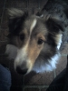 Shetland Sheepdog, 1 1/2 years old, Sable