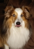 Shetland Sheepdog, 2, White, tan and brown