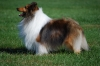 Shetland Sheepdog, 3, Sable & White