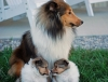 Shetland Sheepdog, 6 weeks, sable & white