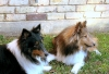 Shetland Sheepdog, 10 yrs and 10 months, tri-color and a sable bi-black