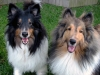 Shetland Sheepdog, 10 1/2 yrs. and 20 months, Tri-color and Sable