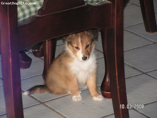 Shetland Sheepdog, 7 weeks, sable-white,