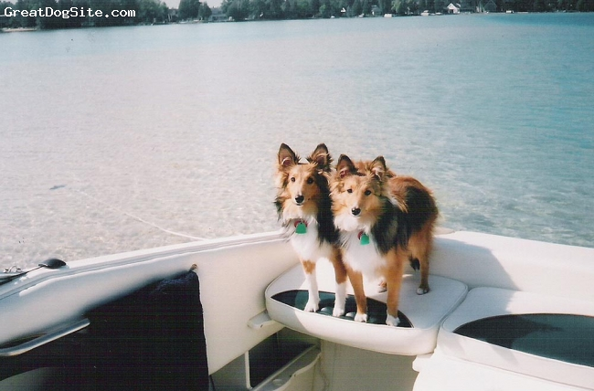 Shetland Sheepdog, 3 yrs old, sable, this is Max and Mitzy Schwander. They are brother and sister and are three years old. They are very loving, very adaptable and super smart. We love them very much - they are children to us. Taken on our boat, on the torch lake sandbar, Antrim County Michigan about 20 miles north of Traverse City