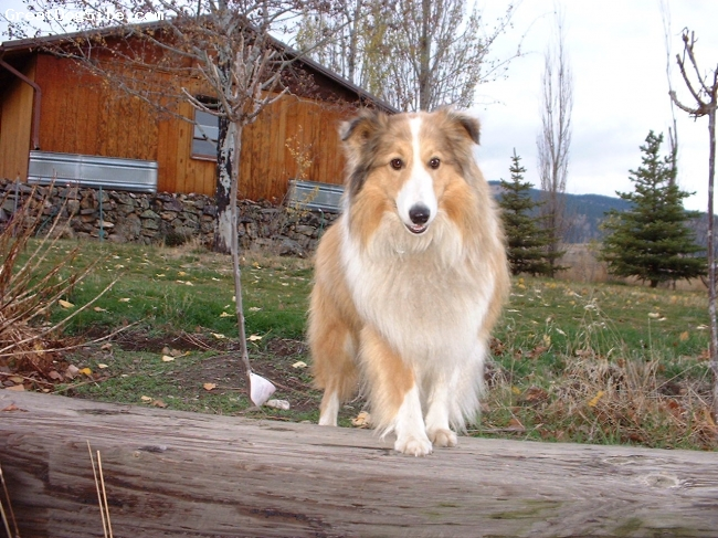 Shetland Sheepdog, 9 and 4, Sable, my best pose
