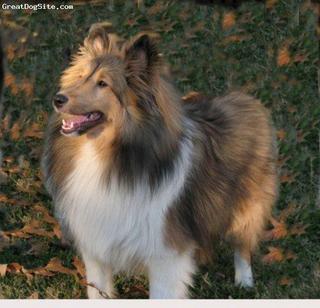 Shetland Sheepdog, 1 year, sable, Jake is a sweet sable boy who came into our life after we lost our blue merle boy.  He also has a companion who is nine years old, her name is Chelsey she is a tri-color who we love dearly.