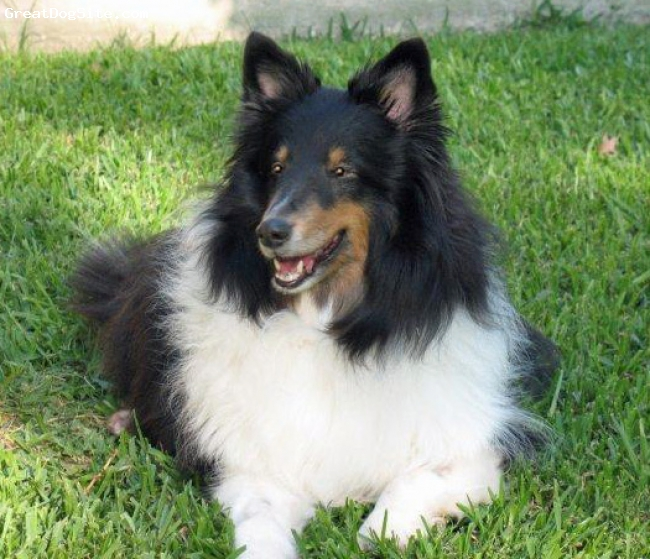 Shetland Sheepdog, 11, Tri, Chelsey is our 11 year old Sheltie and is a beautiful and smart girl.