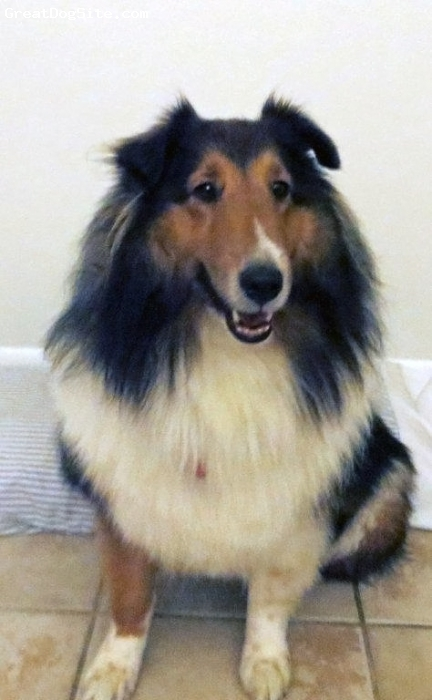Shetland Sheepdog, 4 years, Sable/mahogany, This is our beautiful girl we adopted in December 2012 she is such a wonderful addition to our family. She has a brother Jake who is 3yrs.and sister Chelsey who is 12yrs.  We live in Baton Rouge, LA