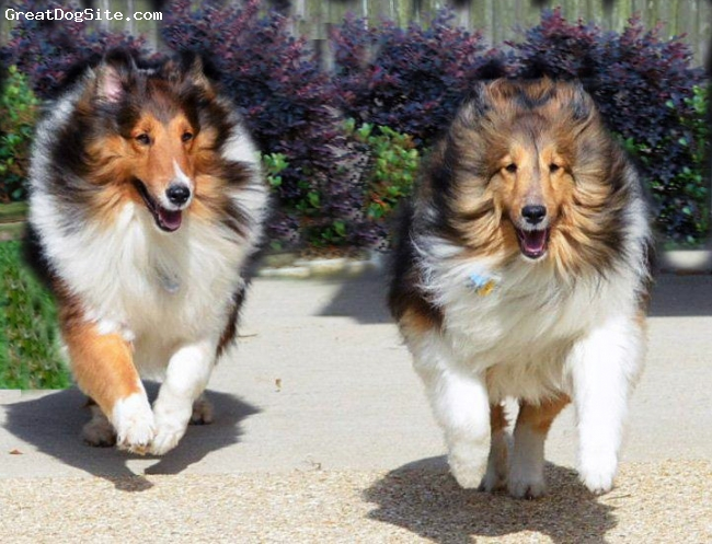 Shetland Sheepdog, Ziva 4yrs. Jake 3yrs., Sable, Ziva who we adopted on 12-8-12 on left and Jake is our sable boy who will be 3yrs. on 2-4-13. They love to run and play together.