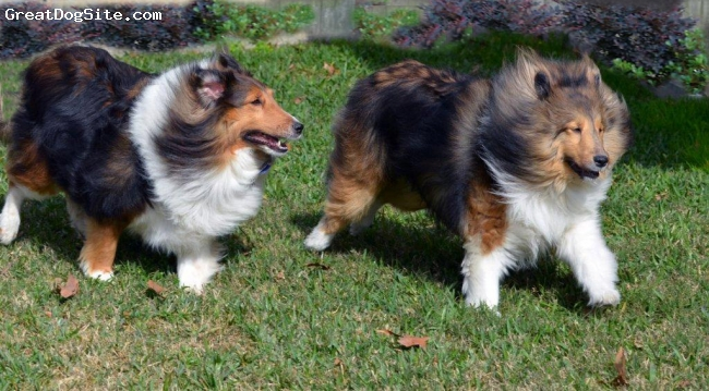 Shetland Sheepdog, 3yrs and 4yrs, sable, Ziva likes to run and chase our other sheltie Jake