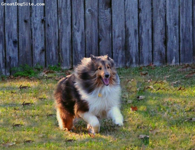 Shetland Sheepdog, 3 years, Sable, Jake is 3 years old and is such a sweet and lovable boy. He is a clown and loves to run and play.