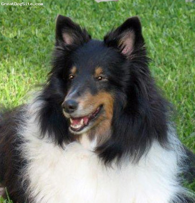 Shetland Sheepdog, 12 years, Tri-Color, Chelsey is our beautiful tri-color girl. She was our first sheltie and she got us hooked on the breed. Very sweet attentive girl.