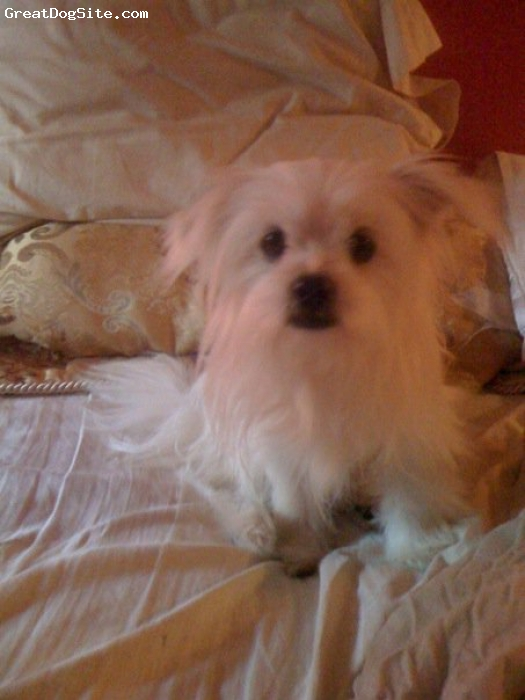 Shi-Pom, 10 mo old, white, My Snuggle Bug just arrived on week before Christmas.  She is a gift from God and a blessing.  She is learning potty training really fast and she is very very smart.  She comes when I call her and she likes to dance with me.  Her birthday is today she is 10mo old.  Her Mom is Pomeranian and her Dad is Shih Tzu.  God Bless you and all your beautiful fur-babies...;)
