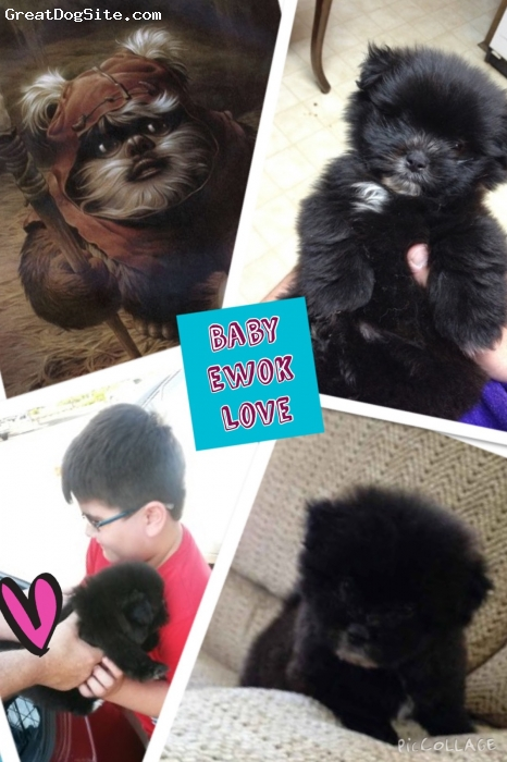 Shi-Pom, 3 months, black, So lovable and cute!  Loves to play. He will play fetch. He uses his tee tee pads and sleeps in his play pen at night. Eats puppy dog food well. Great with kids. He looks like an ewok:)