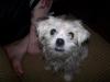 ShiChi, 1 yr old, white
