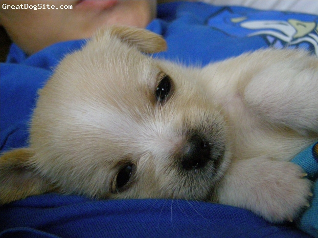 ShiChi, 5 weeks, blonde with white socks, She is adorable, and is full of attitude...all 2 inches of her!