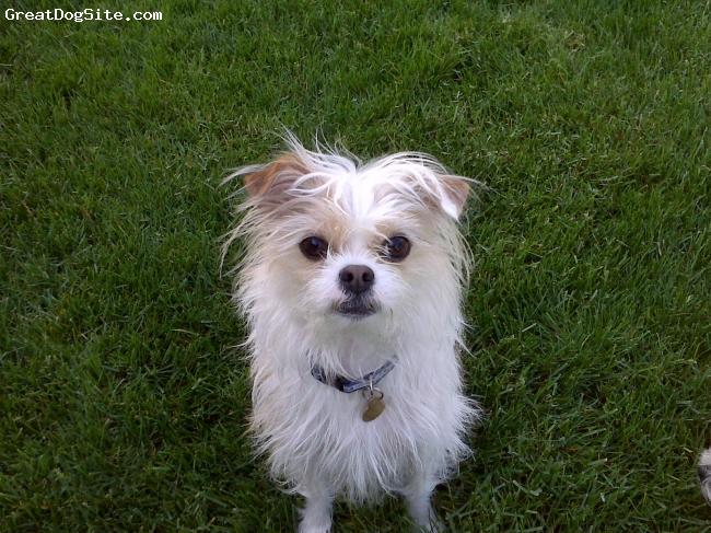 ShiChi, 3, White and Buff, 9 pound ShiChi. Chihuahua mother, Shi Tzu father.