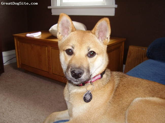 Shiba Inu, 21 months, red sesame, This is our lovely Dakota.  She is a great dog and a cuddler.  I would recommend a Shinba Inu to anyone!