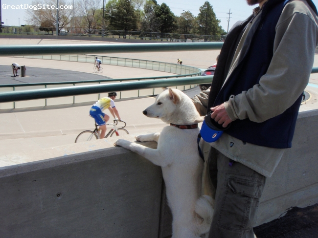 Shiba Inu, 2, Cream, This is Kenta at the Velodrome.