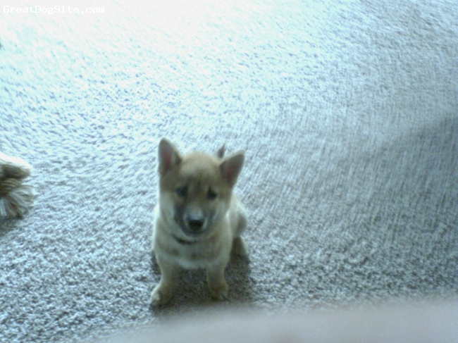 Shiba Inu, 4 months, red/ black, Sammy tried once or twice to join me on the treadmill but isn't coordinated enough yet, now he sits and looks up at me the whole time I work out!