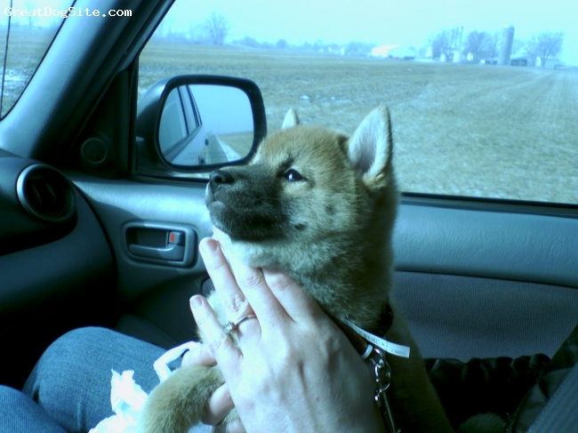 Shiba Inu, 2 months, red/ black, This is Sammy's trip home, riding in the car is still one of his favorite events.