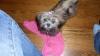 Shichon, 4 months, Brindle