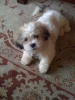 Shichon, 14 Weeks, White and Tan