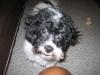 Shichon, 11 months, Black/White