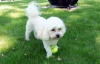 Shichon, 51/2 yrs, cream