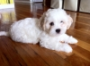 Shichon, 2 Months old, White