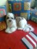 Shichon, 18 miesięcy, tricolor