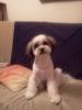 Shichon, 21 miesięcy, tricolor